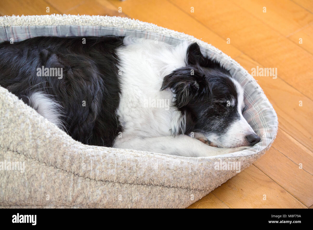 An old Border Collie dog snoozing in his bed. - Stock Image