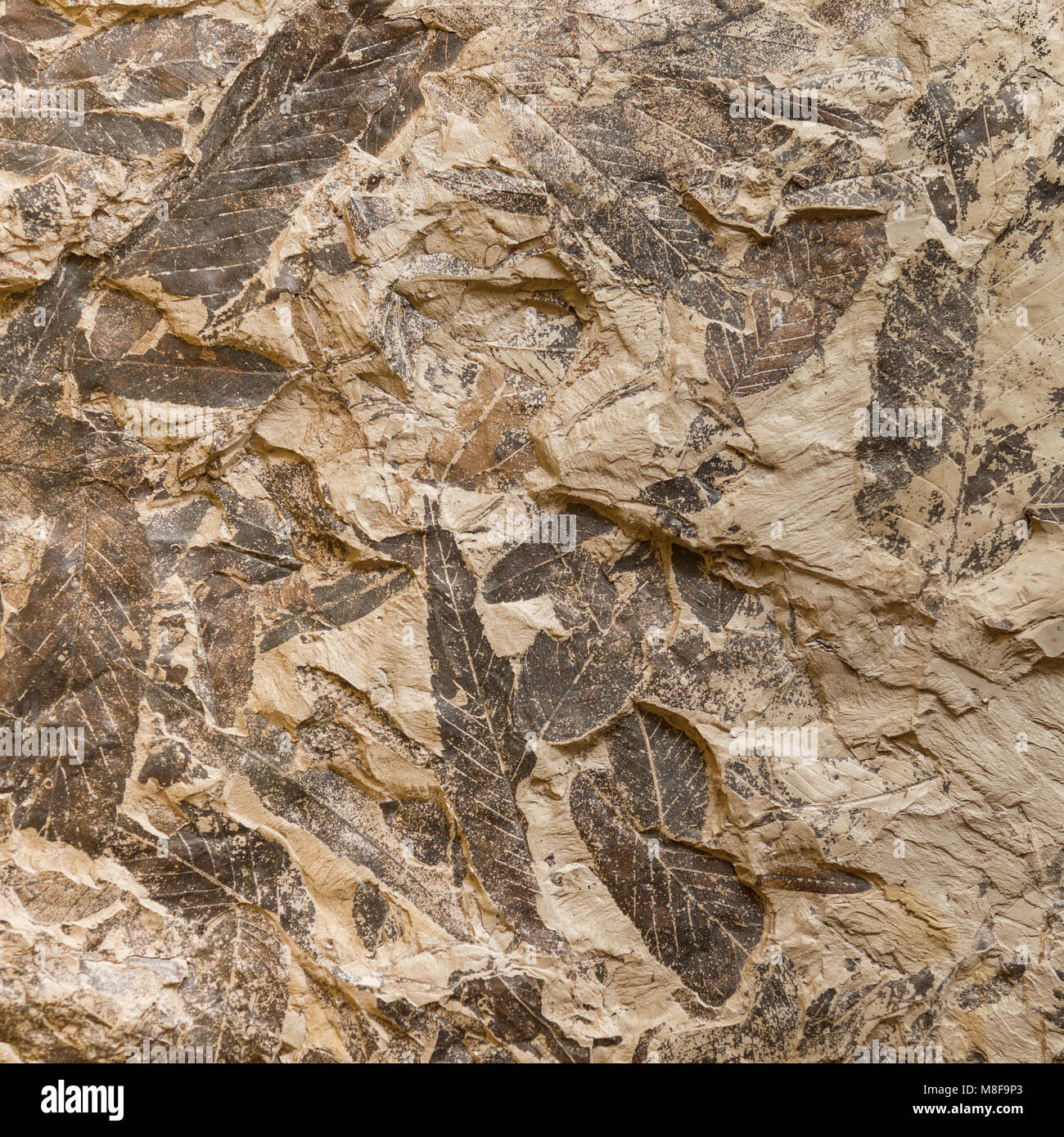 Imprint of fossil prehistoric plant leaves on stone Stock Photo