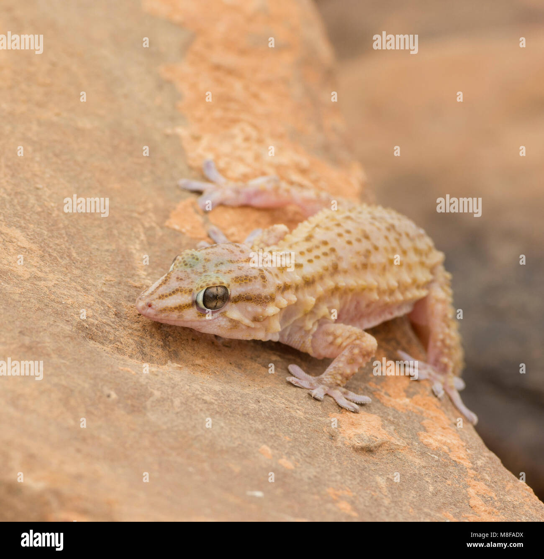 Pale Moorish Gecko (Tarentola Mauritania) sat on a rock in Morocco. - Stock Image