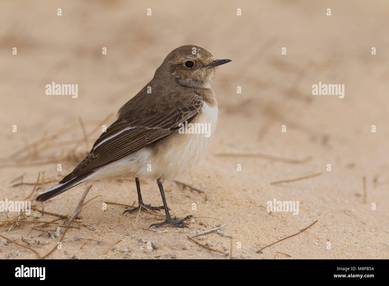 Bonte Tapuit, Pied Wheatear Stock Photo