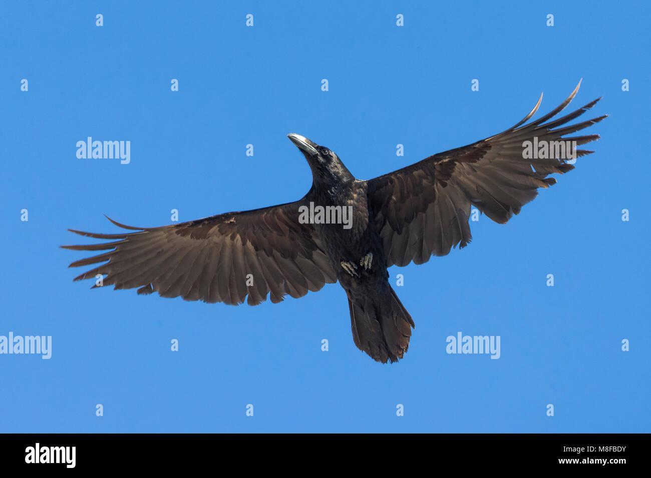 Raaf; Raven; Corvus corax - Stock Image