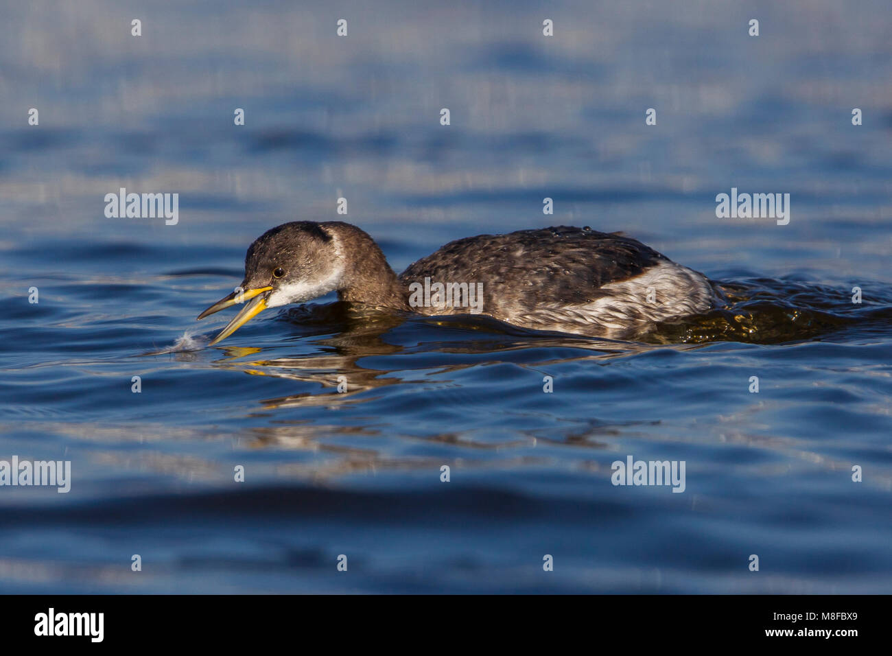 Roodhalsfuut zwemmend in Italiaanse haven; Red-necked Grebe swimming in Italian harbour - Stock Image