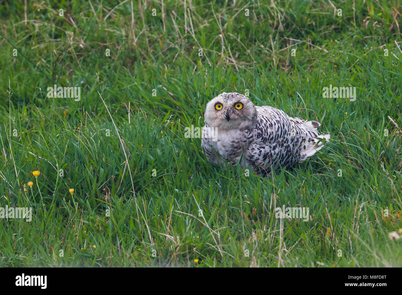 Sneeuwuil zittend in gras; Snowy Owl perched in gras - Stock Image