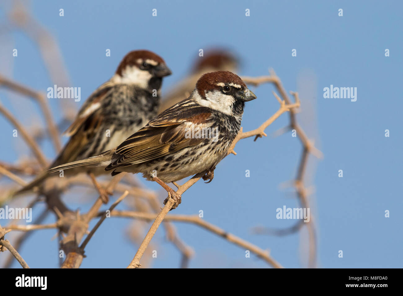 Mannetje Spaanse Mus; Spanish Sparrow male - Stock Image