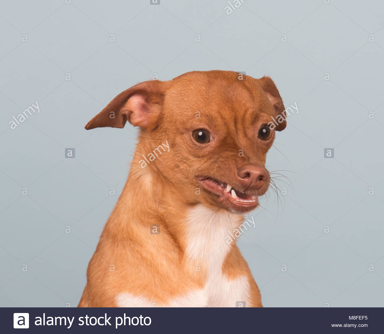 Close up of a white and red chihuahua mix dog with a funny expression against a light blue studio background - Stock Image