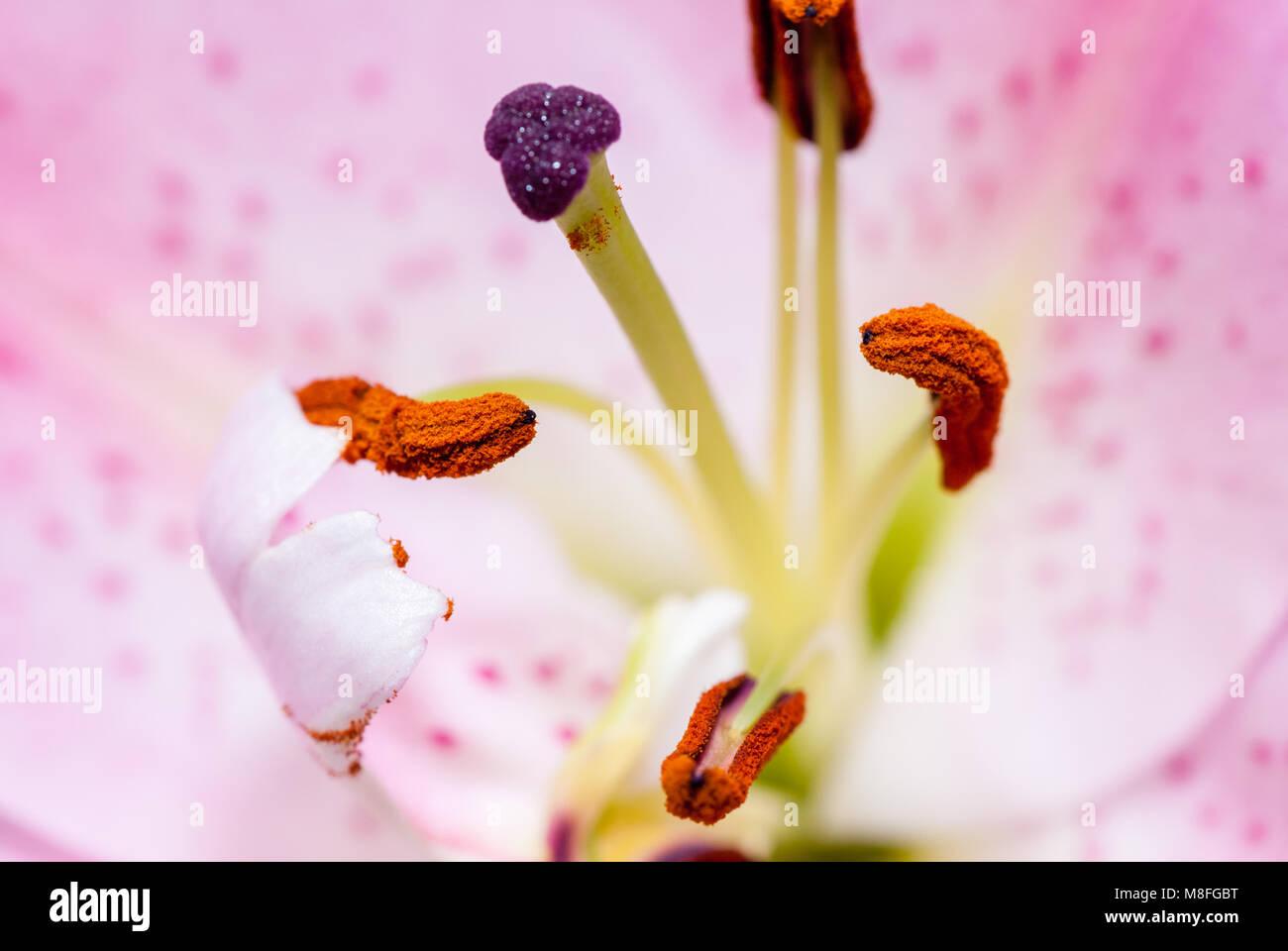 close-up view lilie stigma, Lilium sp Stock Photo
