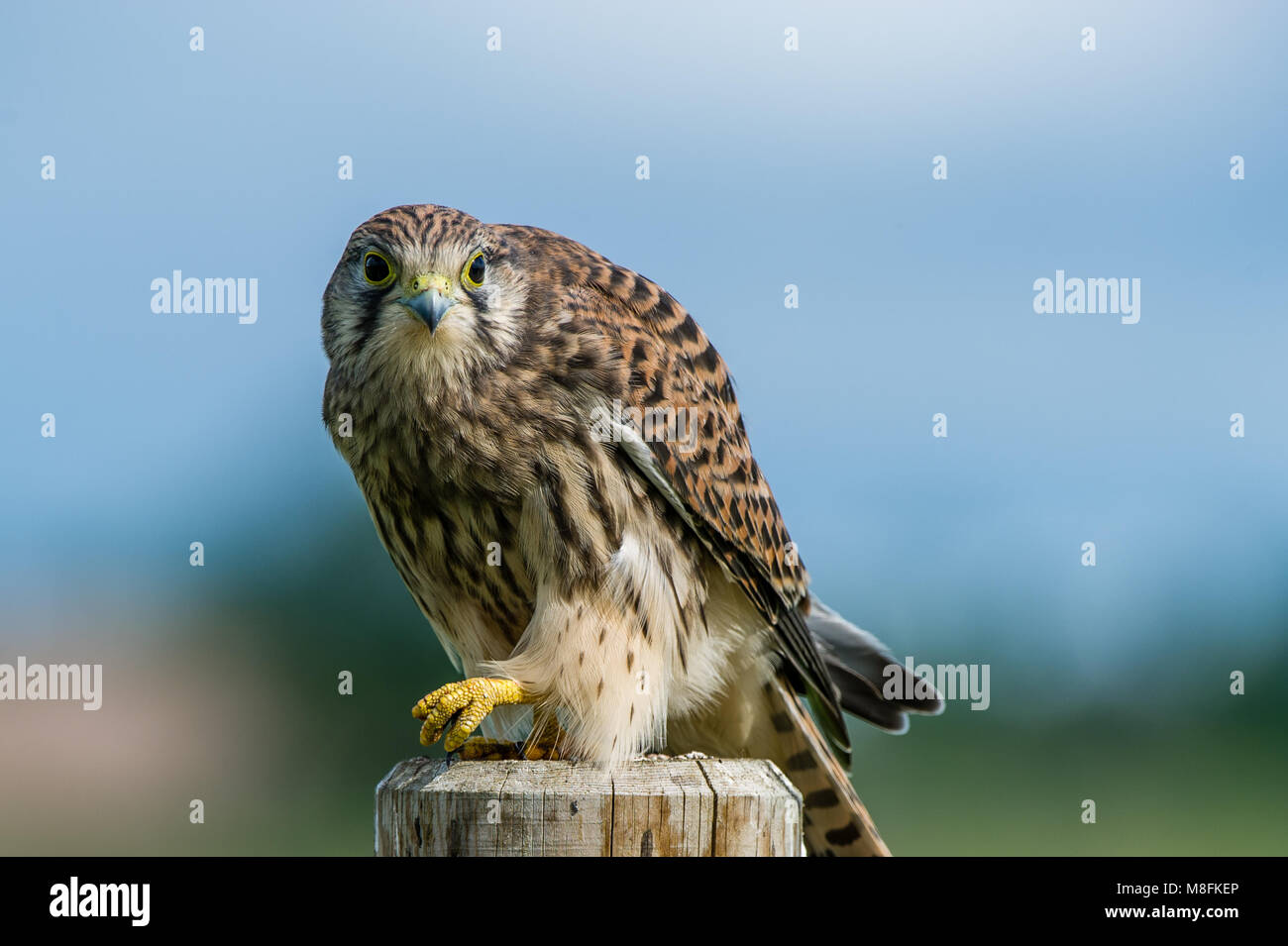 A beautiful young kestrel perching on a wooden roundpole fence looking behind you with a nice defocused background - Stock Image