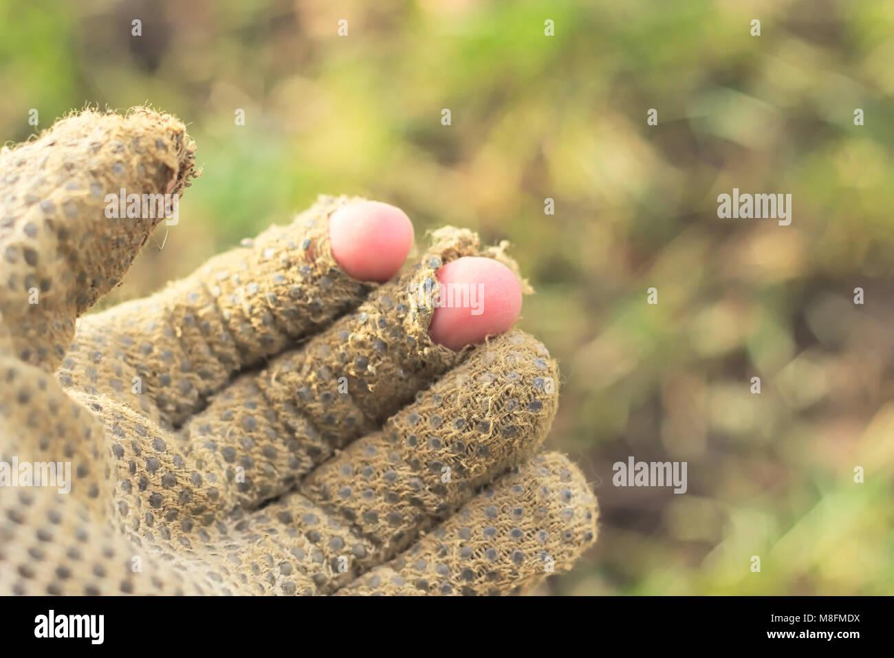 Hand wearing Torn Garden Glove - Stock Image