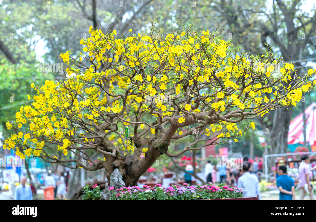 Apricot Bonsai Tree Blooming With Yellow Flowering Branches
