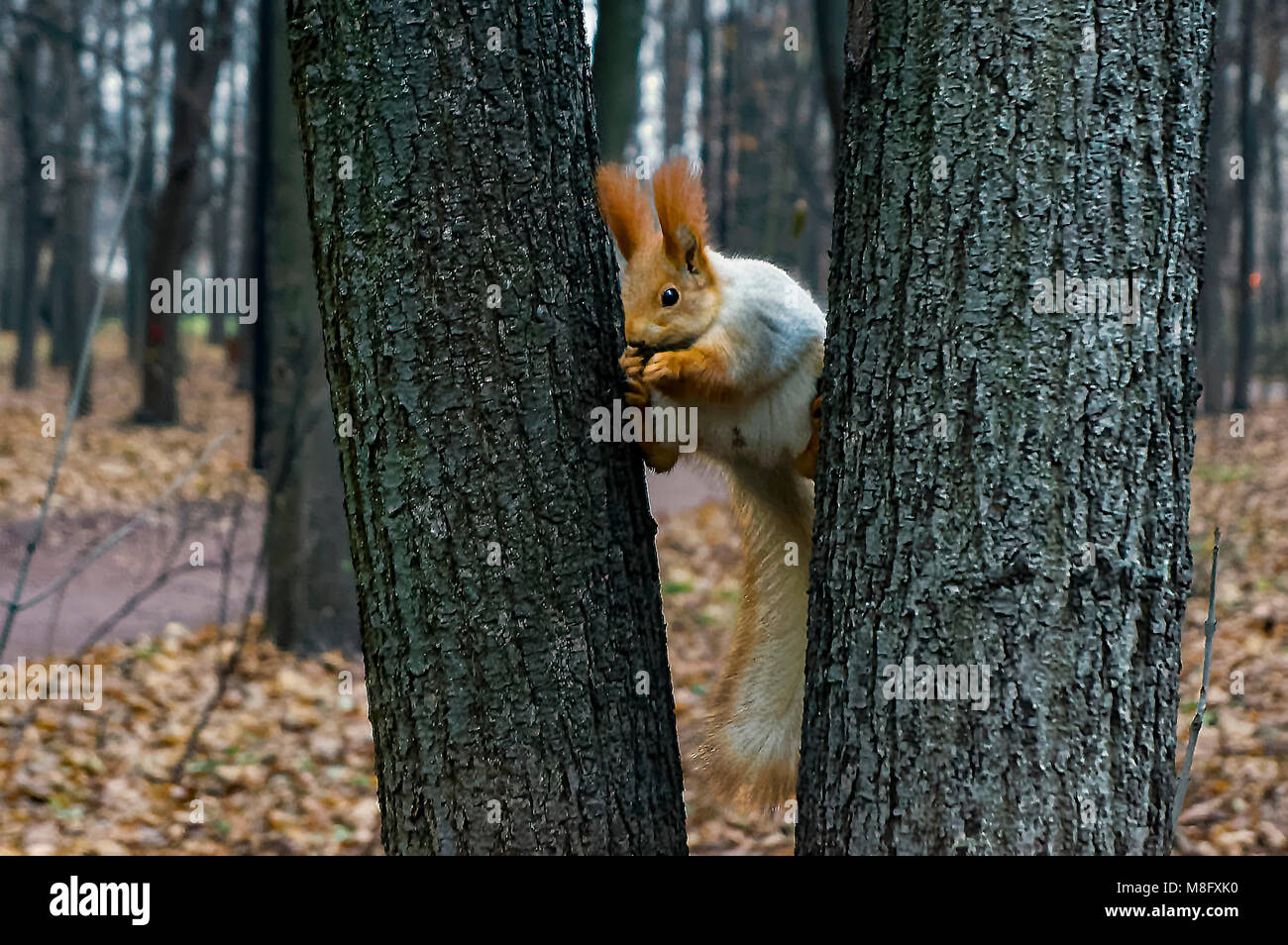 Squirrel executing a split - Stock Image
