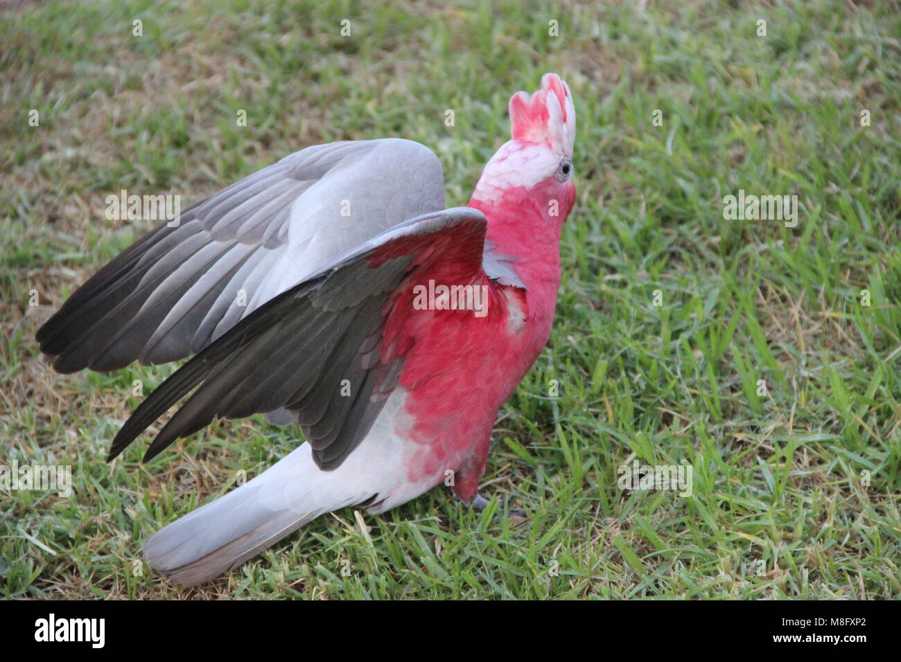 Galah Bird Outstretched Wings - Stock Image