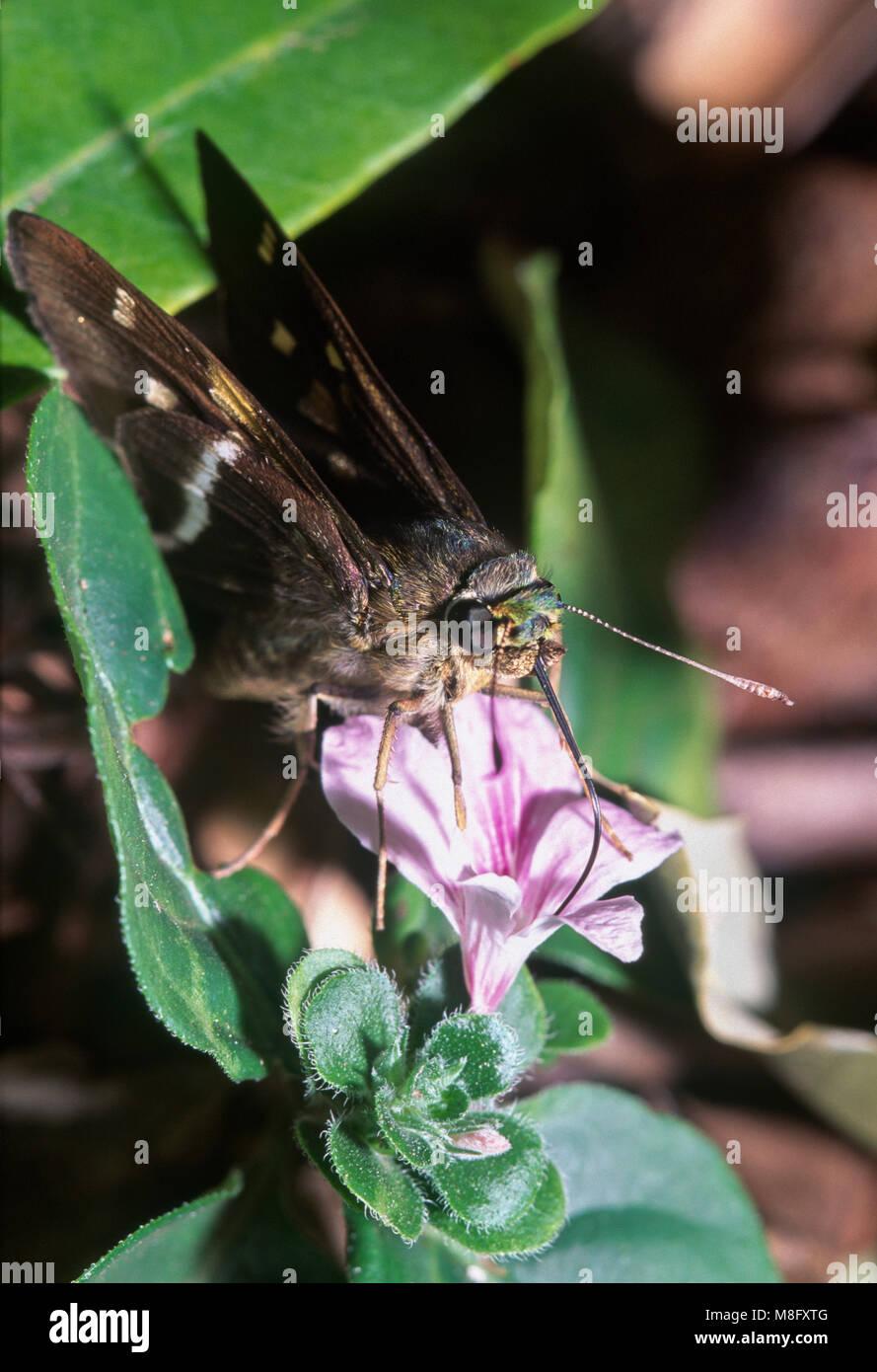 Tropical skipper butterfly (Hesperiidae) feeding on pink flower, Foz do Iguacu, Brazil - Stock Image