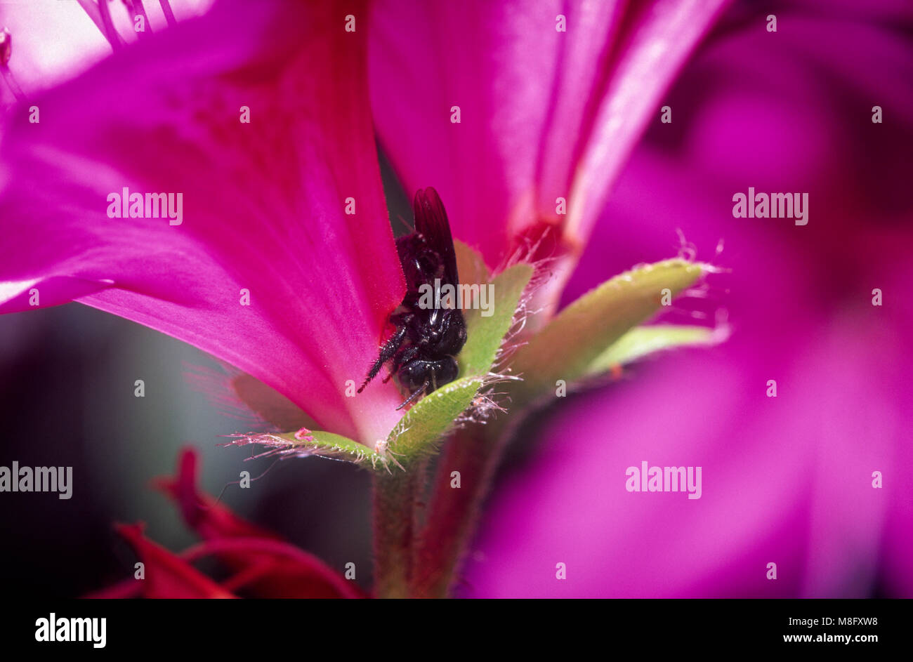 Black robber bee feeding on nectar from back of flower without pollinating flower Stock Photo