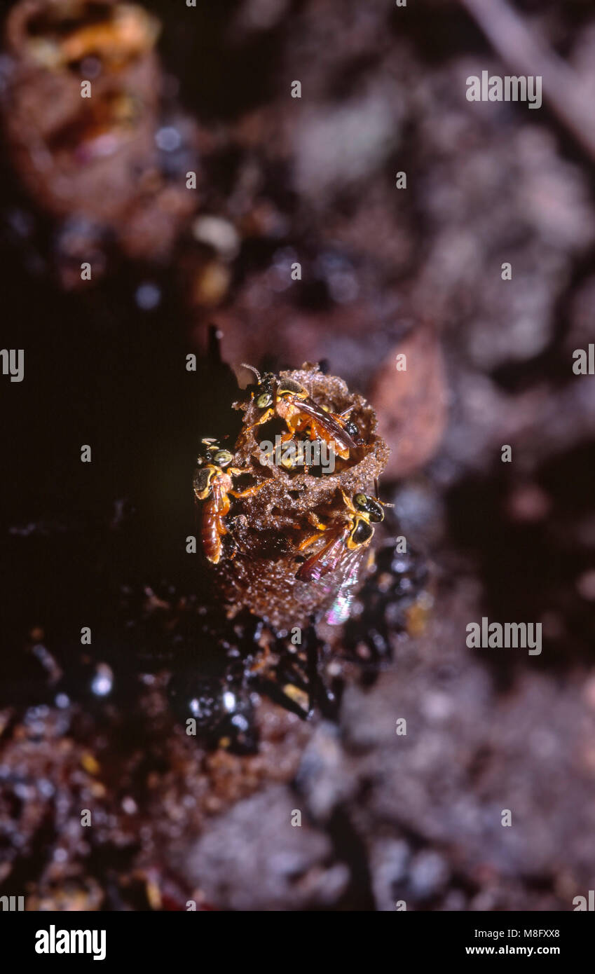 Eusocial stingless bees (Tetragonisca angustula) and the wax tube entrance to their nest/hive - Stock Image