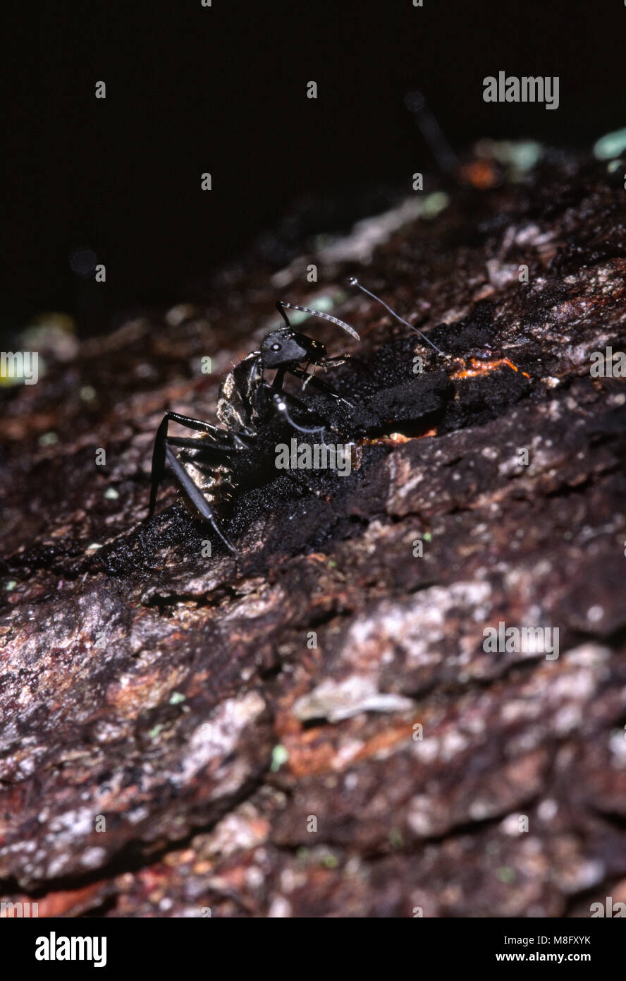 Golden carpenter ant (Camponotus sericeiventris) feeding on honeydew from scale insects (Stigmacoccus sp.) - Stock Image