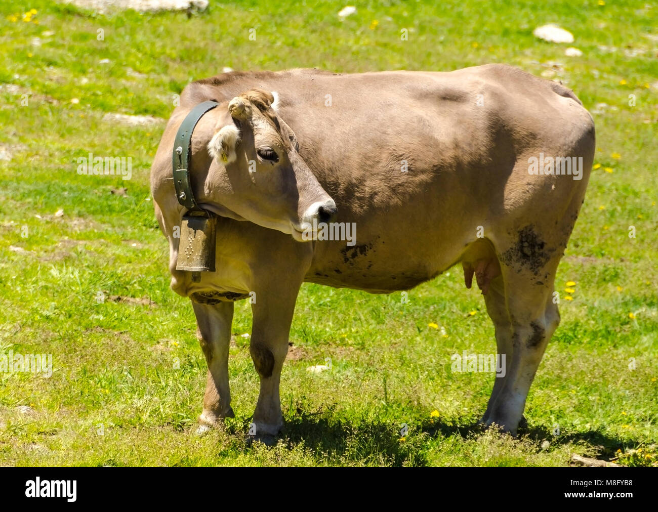 Pyrenean is a breed whose origin is found in the Pyrenees. It is fundamentally used for meat production and is currently - Stock Image