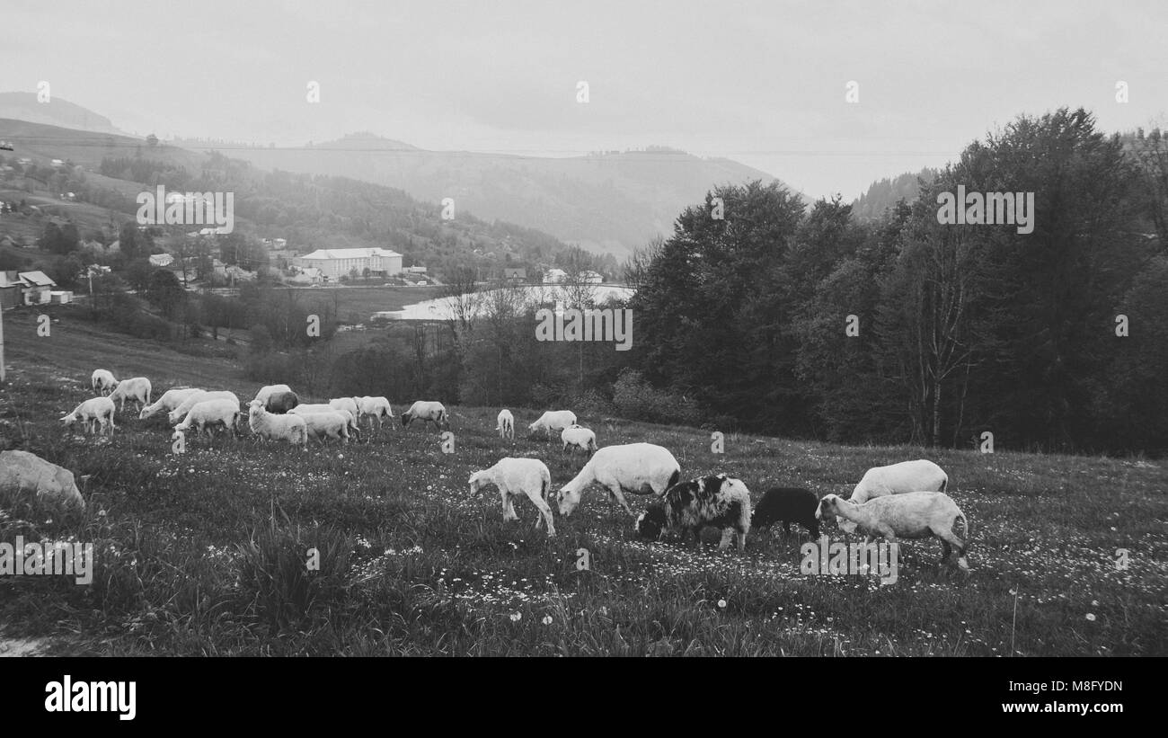 Fresh green grass ecological pure milk wool meat of domestic animals - Stock Image