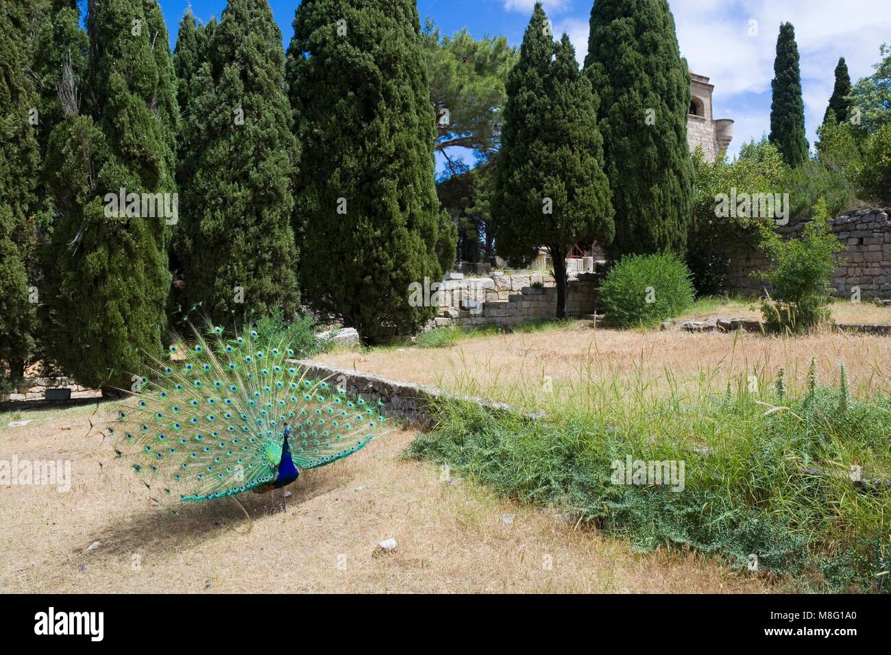 Peacock in Filerimos Monastery in Rhodes Island built by the Knights of Saint John, Greece - Stock Image