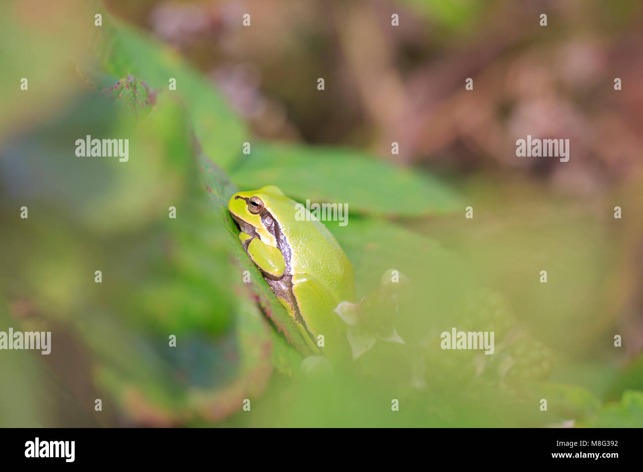 Closeup of a small European tree frog (Hyla arborea or Rana arborea), resting in a blackberry bush heating up in Stock Photo