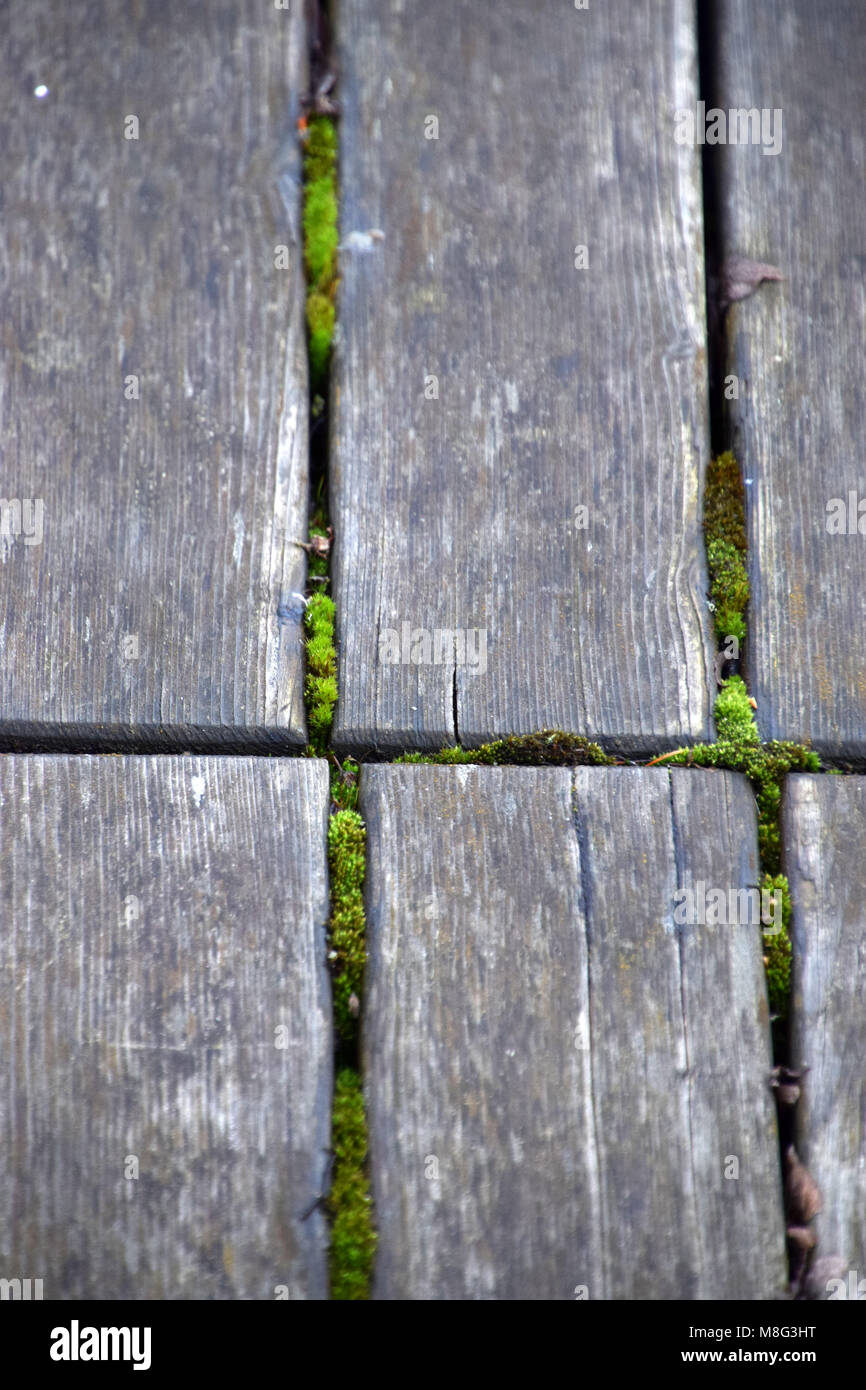 old wooden side walk with moss between the planks - Stock Image