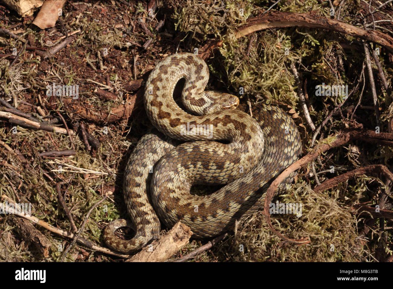 Female Adder, vipera berus, basking - Stock Image