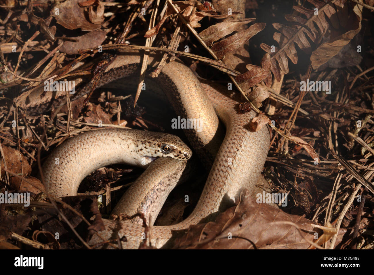 Mating slow worms, Anguis fragilis Stock Photo