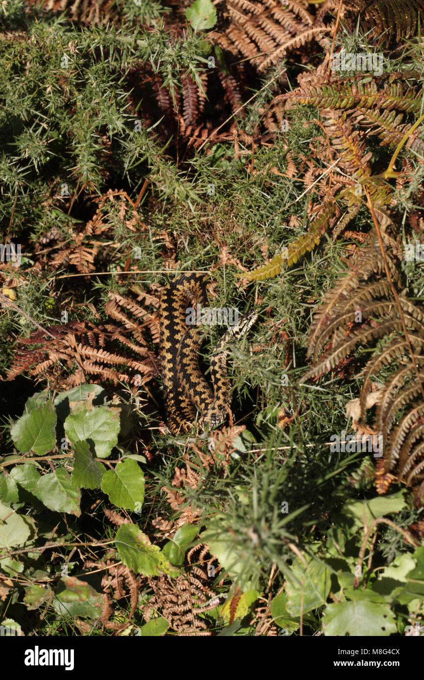 Adder, vipera berus, basking - Stock Image