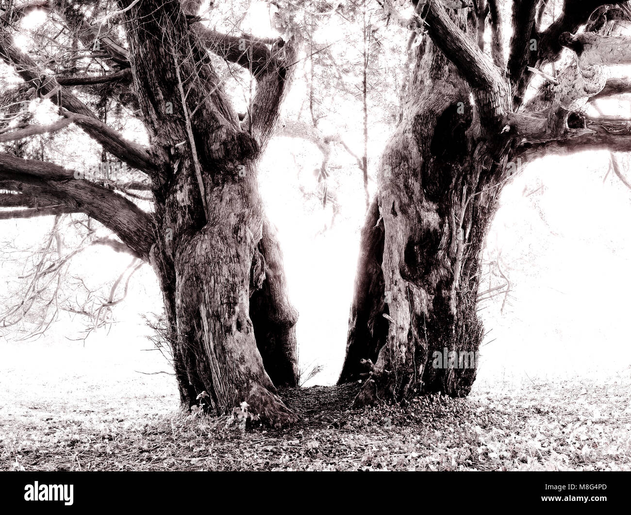 Ancient yew tree. Split in half by lightening hundreds (if not thousands) of years ago. - Stock Image