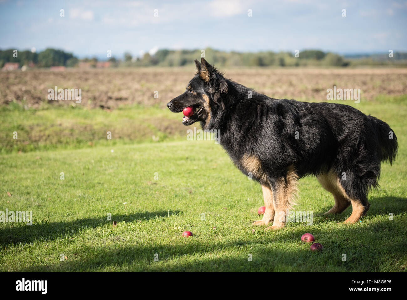 Young Bohemian Shepherd stands while holding an apple in his mouth during a sunny day - Stock Image
