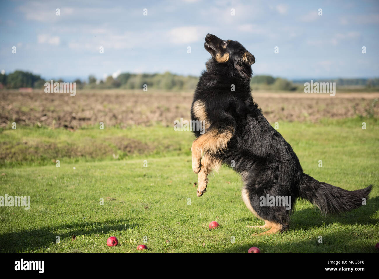 Young Bohemian Shepherd jumps in garden during a sunny day - Stock Image