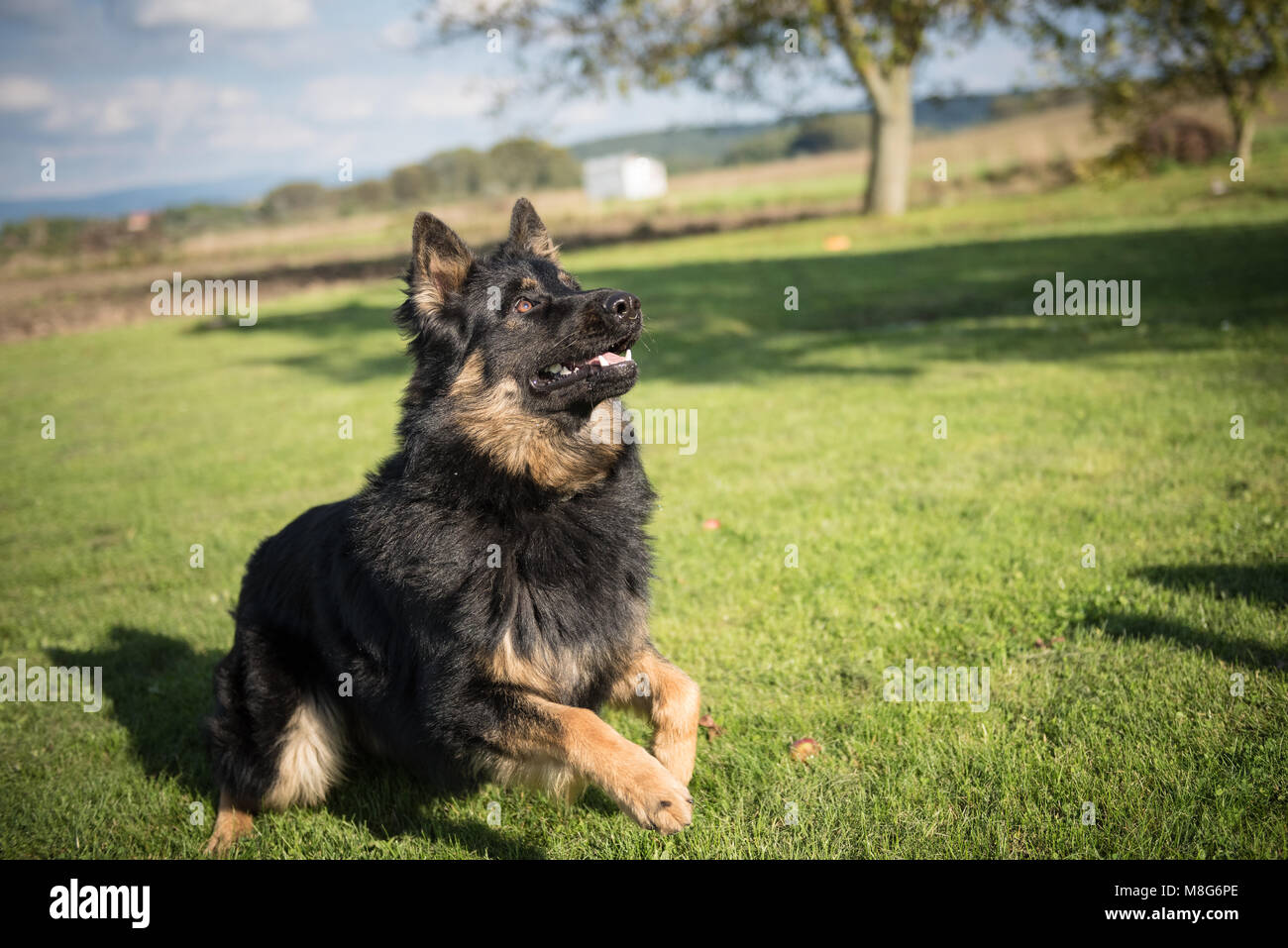 Young Bohemian Shepherd jumps and plays in a garden during a sunny day - Stock Image