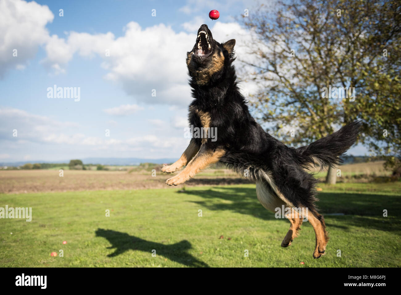 Young Bohemian Shepherd jumps and catches apples in a garden during a sunny day - Stock Image