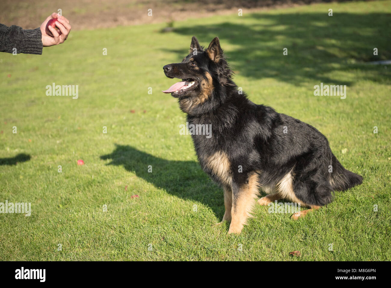 Young Bohemian Shepherd on alert and waits to catch an apple during a sunny day - Stock Image