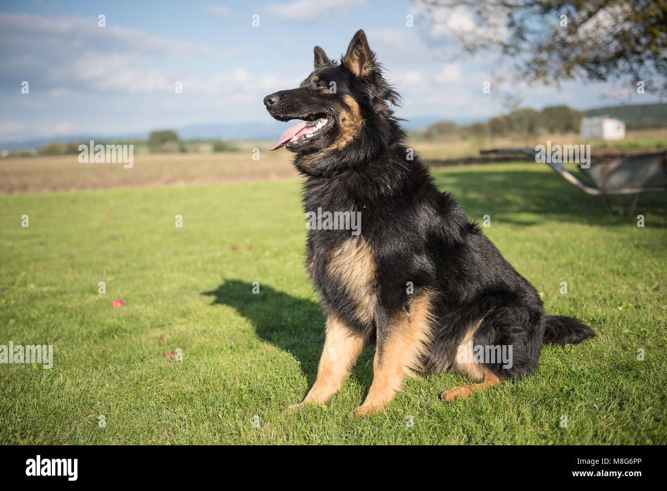 Young Bohemian Shepherd sits in a garden during a sunny day - Stock Image