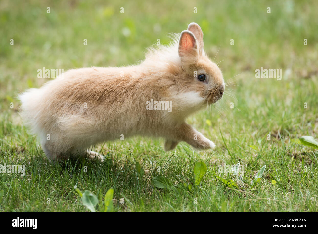 Baby Lionhead Rabbit (Bunny) runs on grass Stock Photo
