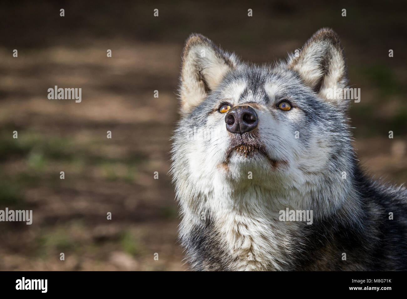 Wolf pictured in U conservation society, Wolves are held in large areas and well looked after, They have saved many - Stock Image