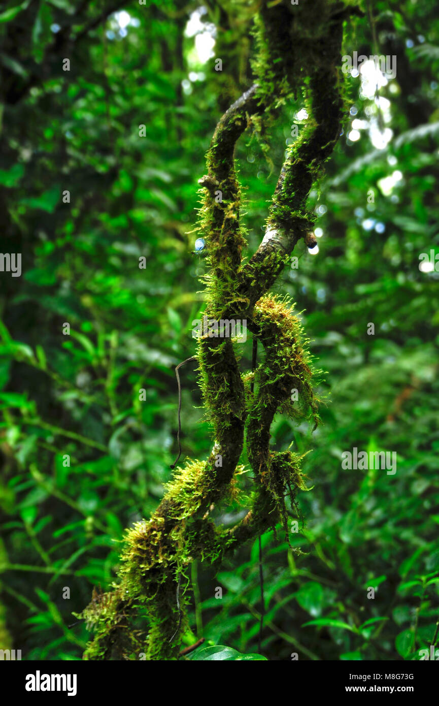 Epiphytes, plants growing on other plants, thrive in the moist environment in Monteverde Cloud Forest Reserve. - Stock Image
