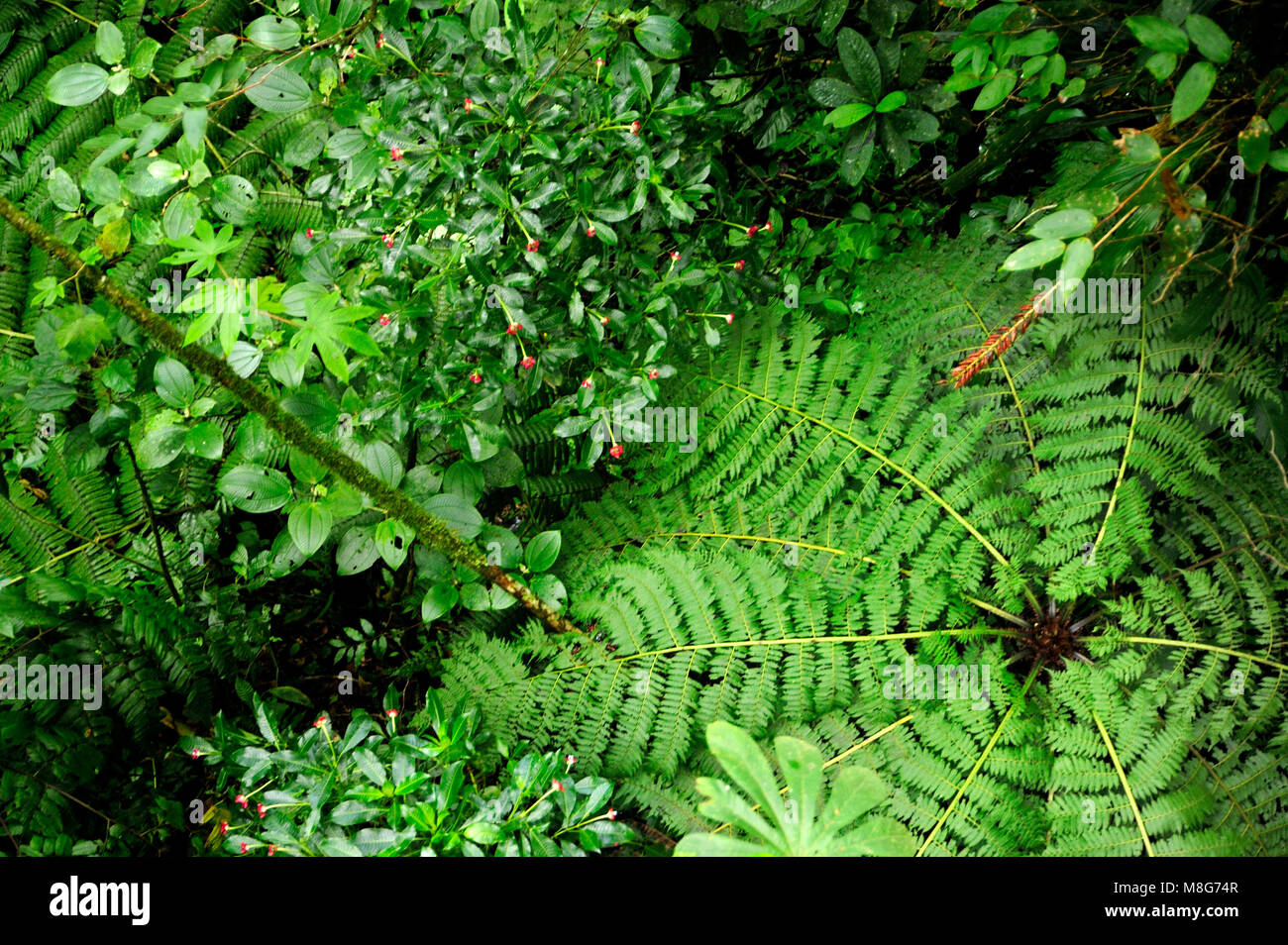The Monteverde Cloud Forest Reserve was established in 1972 and initially covered some 810 acres of forested land. - Stock Image