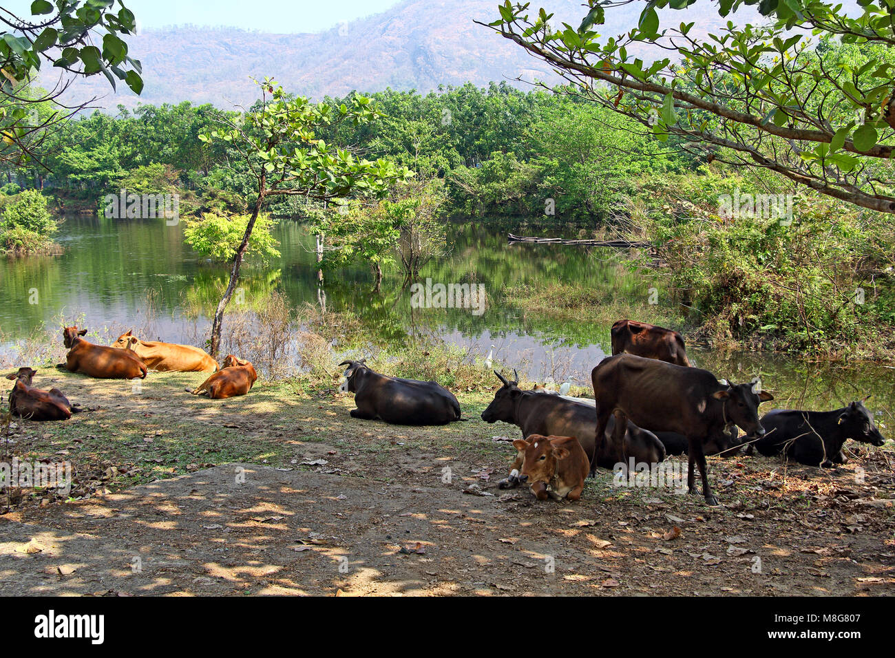 Herd of cattle taking rest and ruminating in shade under trees near lake on a hot and sunny summer day in Kerala, - Stock Image