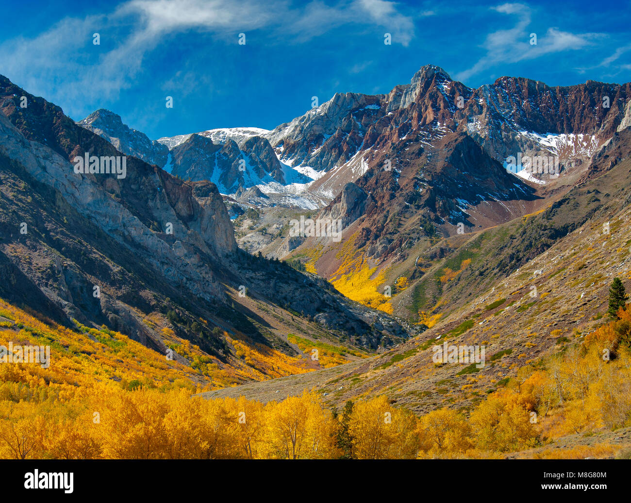 Aspen, Populus tremuloides, McGee Creek, Inyo National Forest, Eastern Sierra CA - Stock Image