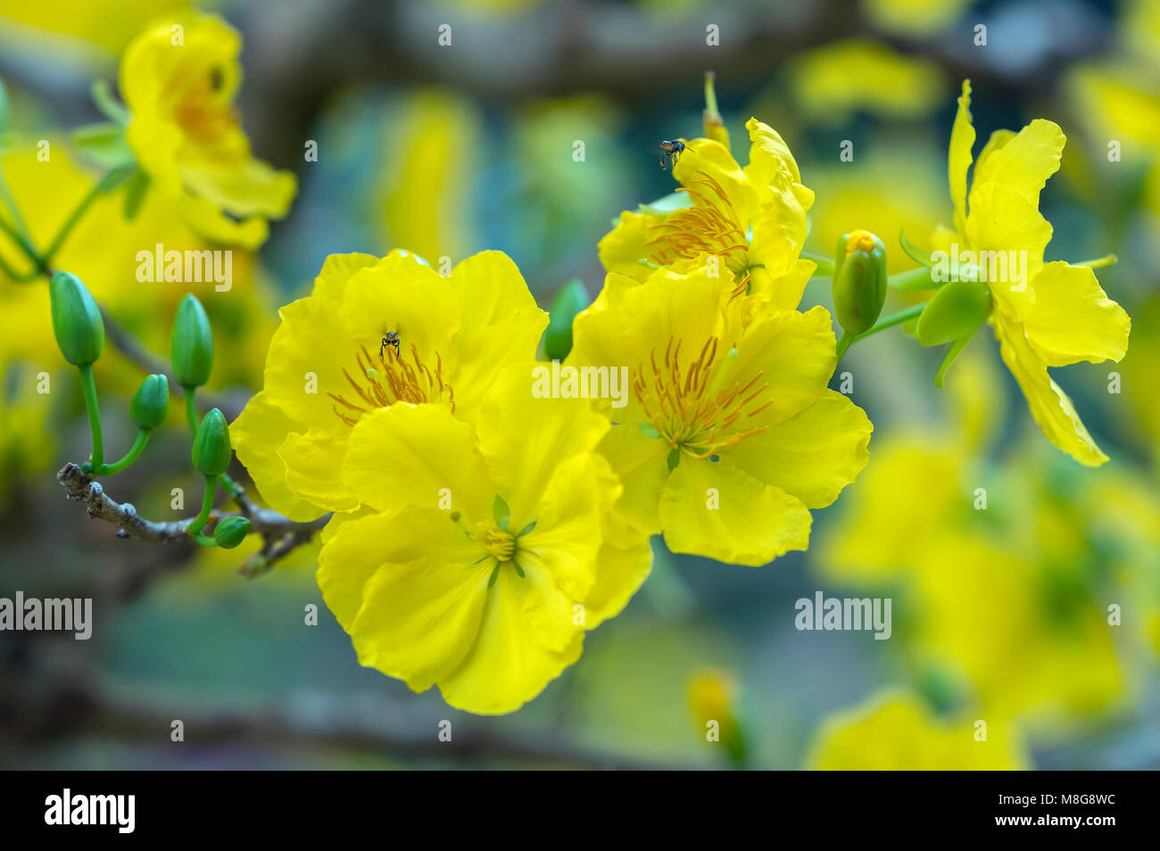 Apricot flowers blooming in vietnam lunar new year with yellow stock apricot flowers blooming in vietnam lunar new year with yellow blooming fragrant petals signaling spring has come this is the symbolic flower mightylinksfo