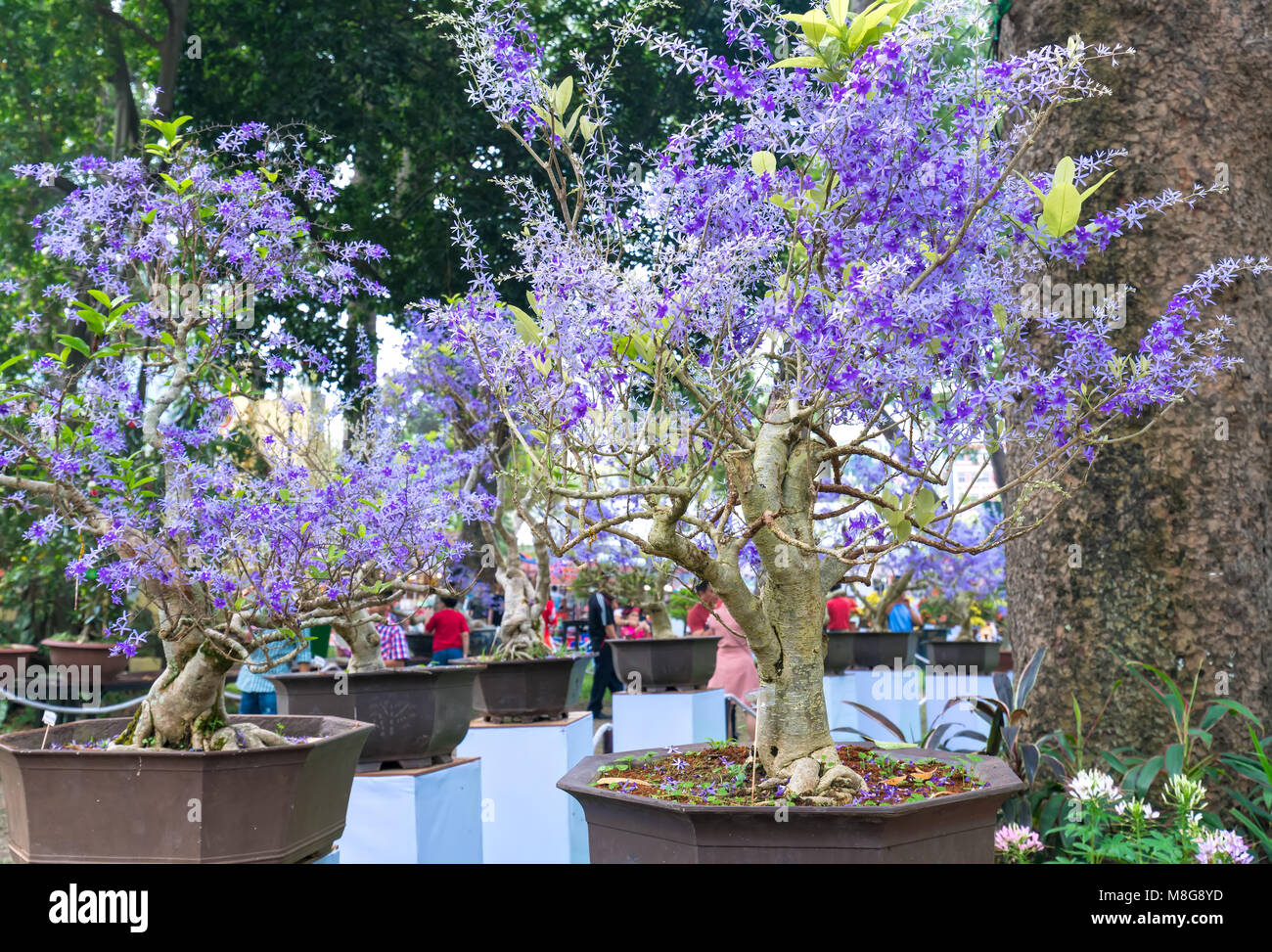 Purple blooming apricot flower pots in early spring vietnam lunar purple blooming apricot flower pots in early spring vietnam lunar new year mightylinksfo