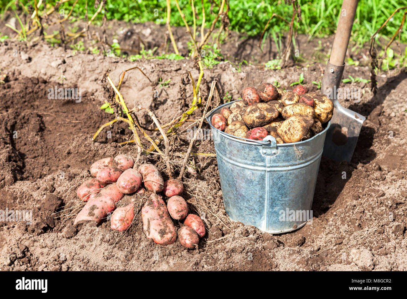 Freshly dug potatoes in metal bucket and shovel at the vegetable ...