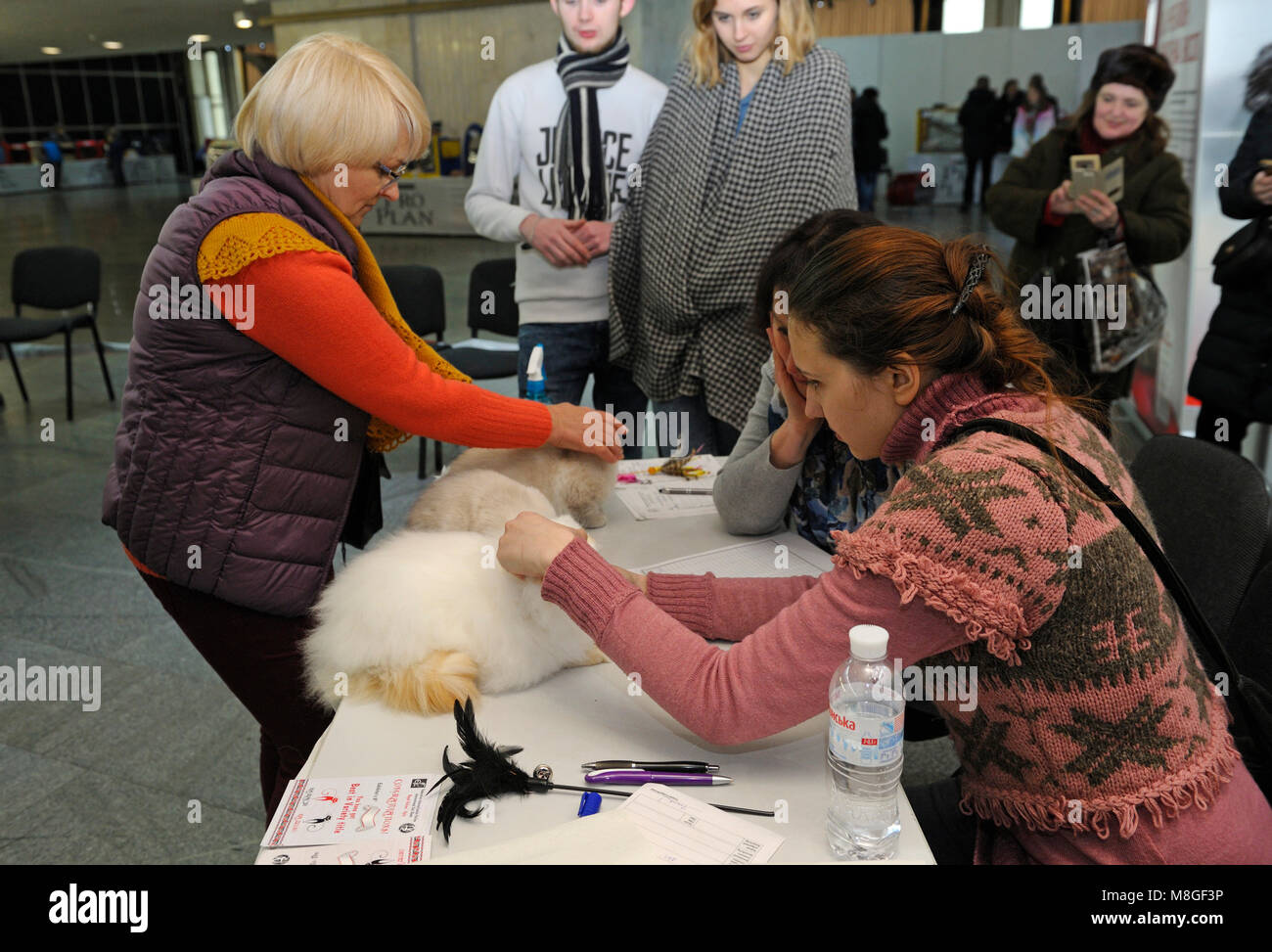 Estimating breed. A pedigreed cat standing on a table, a judge holding it estimating its color and proportions. - Stock Image