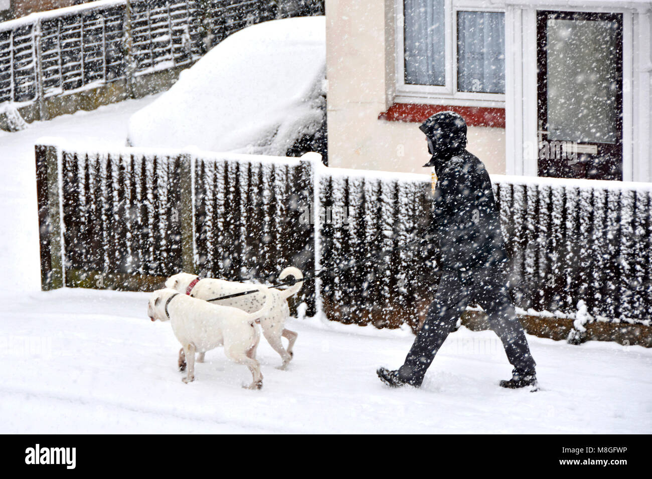 Snowing hard for dog walker man in cold weather winter snow storm scene walking two white dogs along pavement in - Stock Image