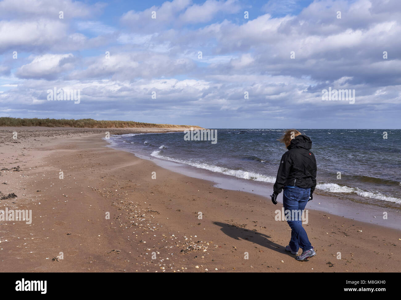 A Woman walking along Easthaven Beach in Angus, on a very windy and fresh day in April. Stock Photo