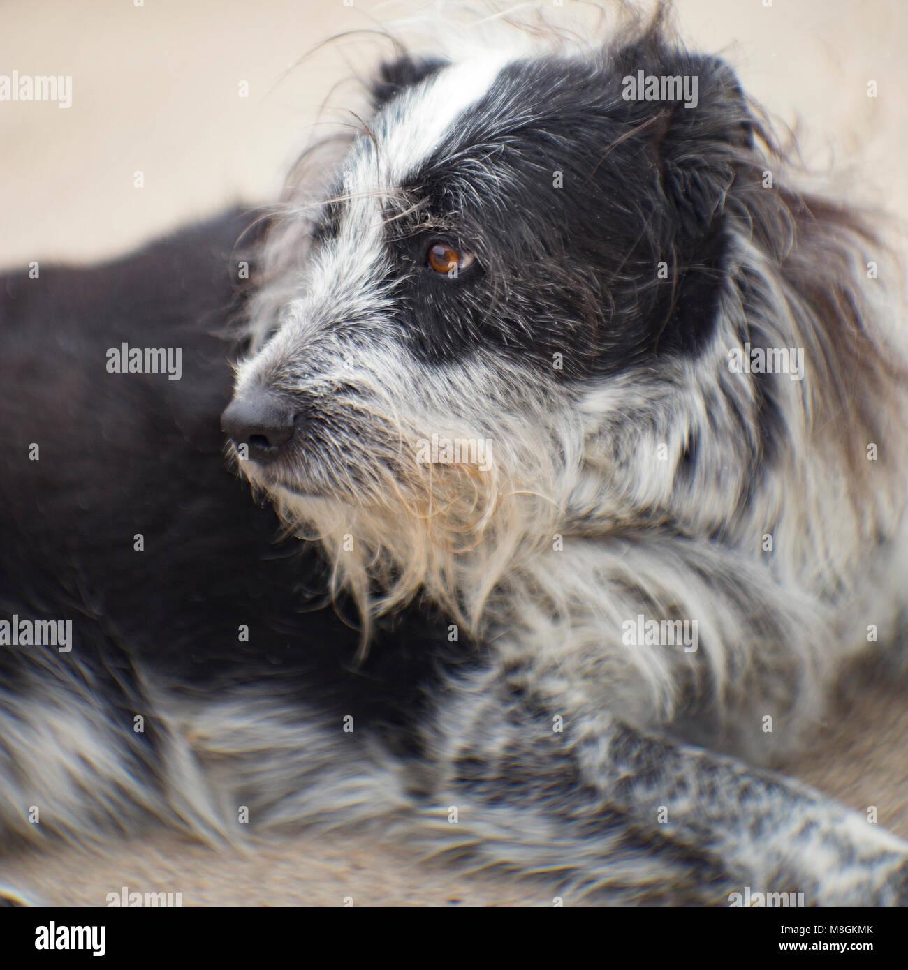 Grey Haired Dog Stock Photos & Grey Haired Dog Stock Images - Alamy