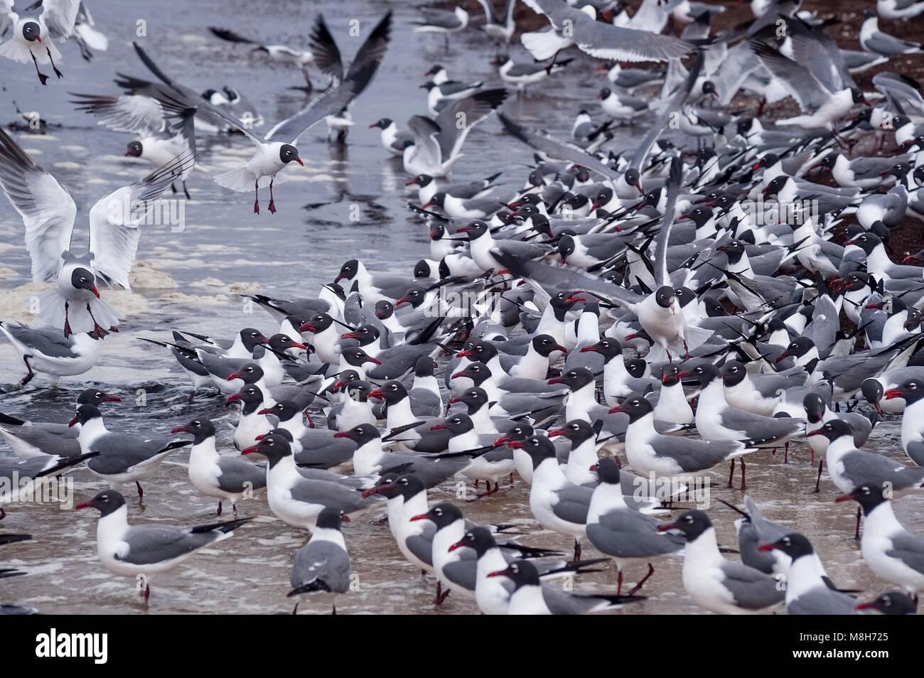 Laughing Gull, Leucophaeus atricilla, Reeds Beach, Delaware Bay, New Jersey, USA - Stock Image