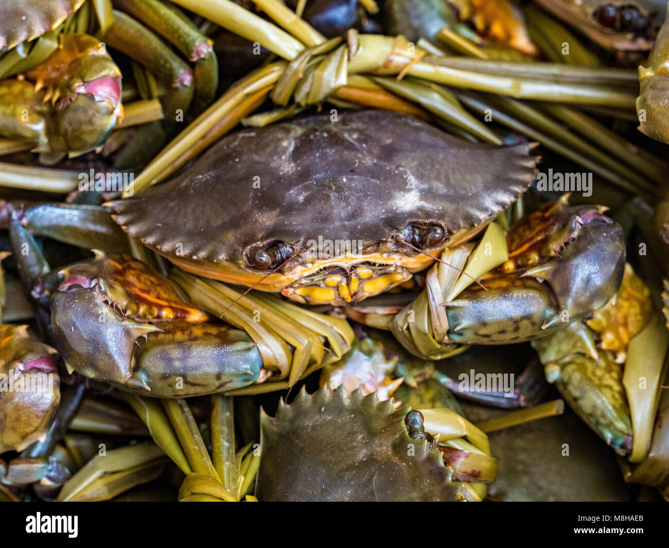 Live Crab tied up for purchase in the Hong Kong fishing village of Tai O - Stock Image