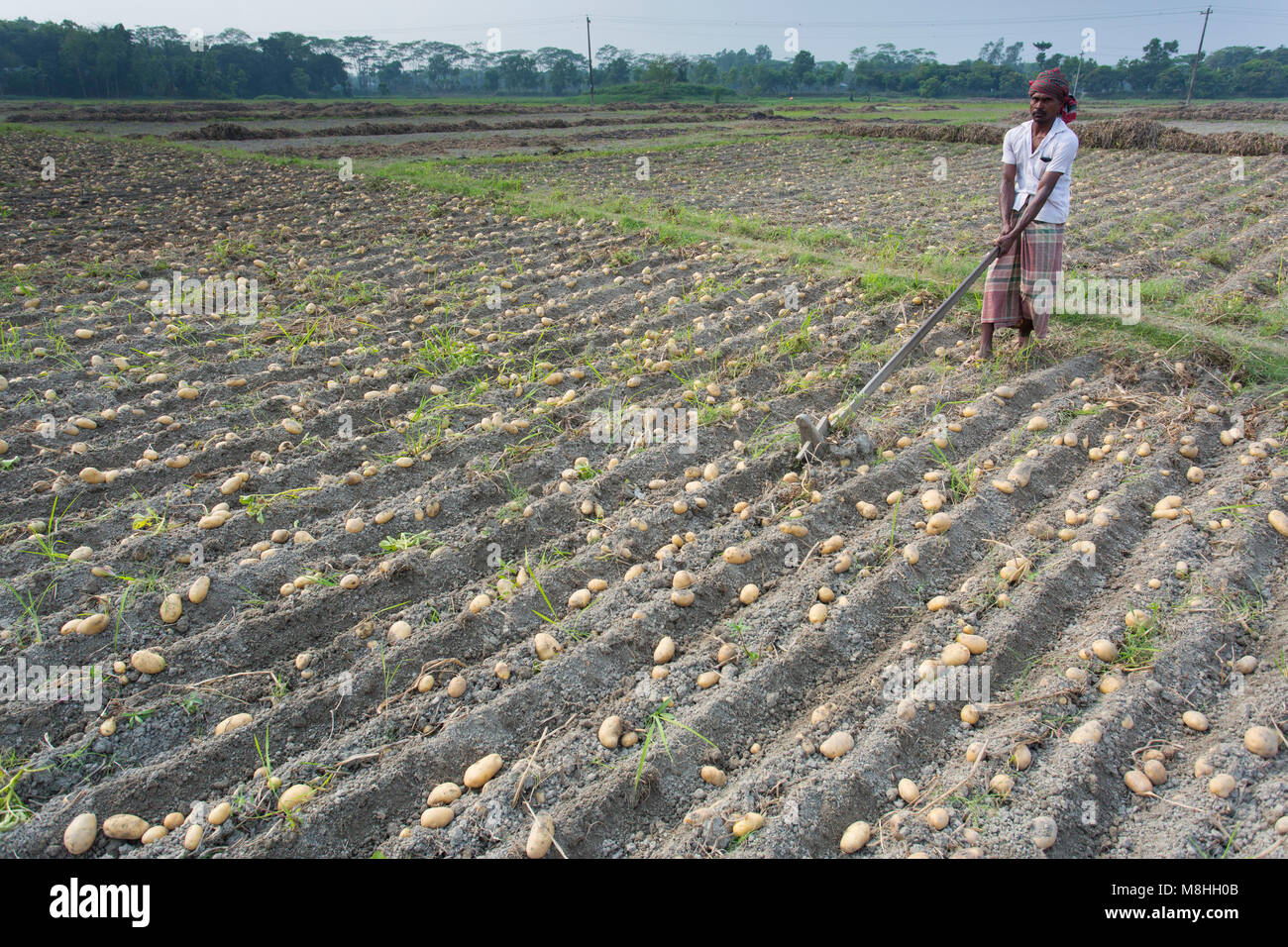 Farmers are busy to Harvest potato in a potato field, in Munshigonj, Bangladesh. - Stock Image